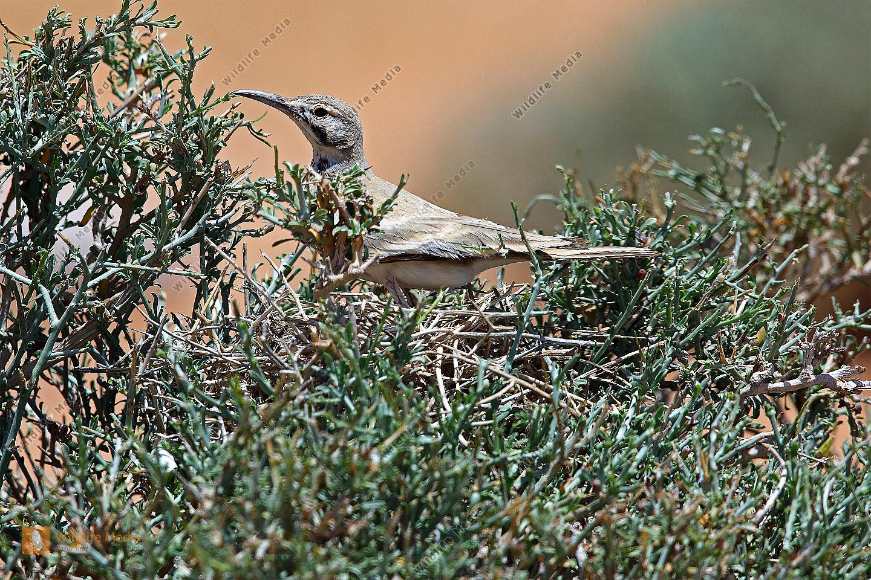 Wüstenläuferlerche am Nest