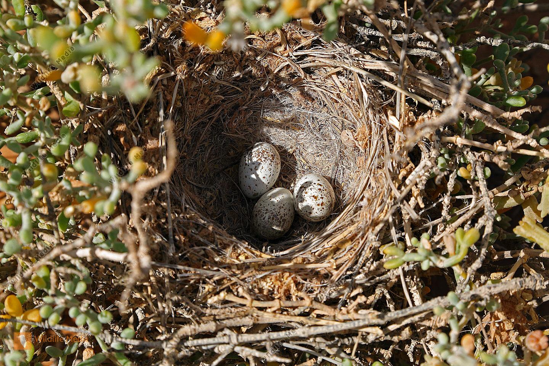 Wüstenläuferlerche Nest