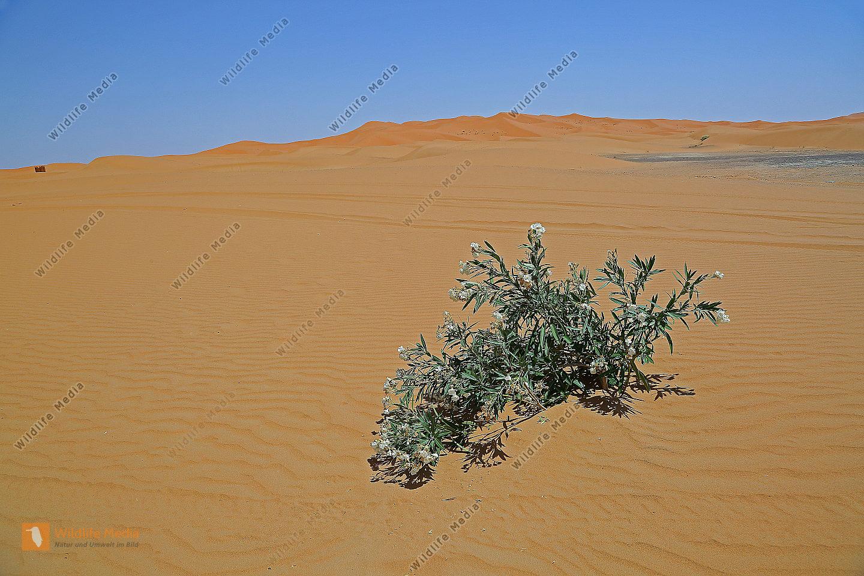 Oleander im Wüstensand