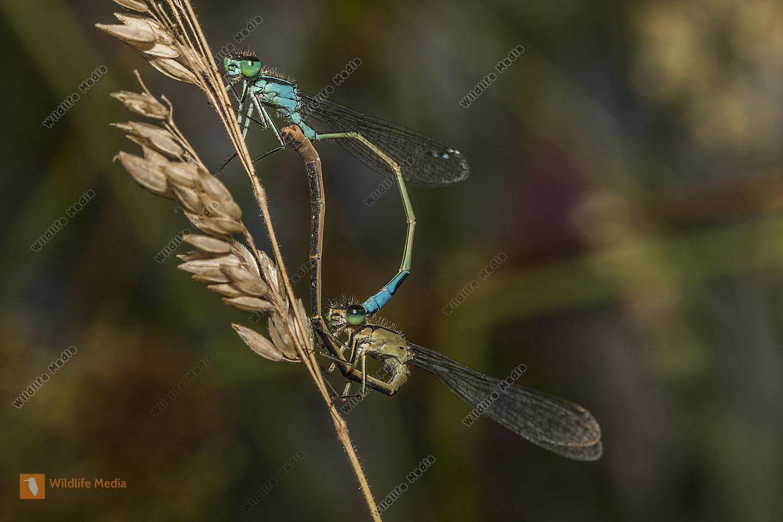 Große Pechlibellen bei der Paarung Paarungsrad