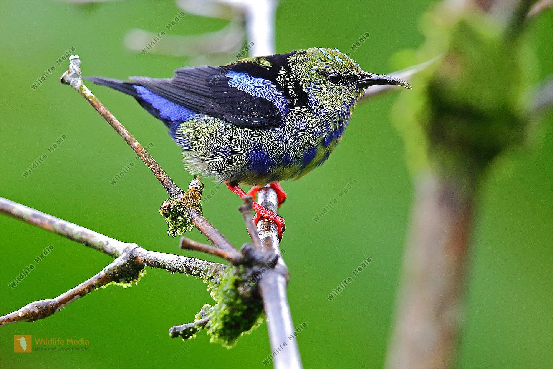 Türkisnaschvogel junges Männchen