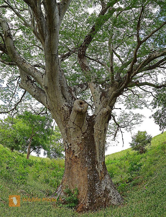 Guanacaste-Baum
