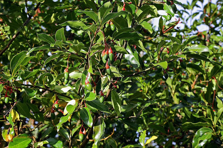 Wilde Avocado