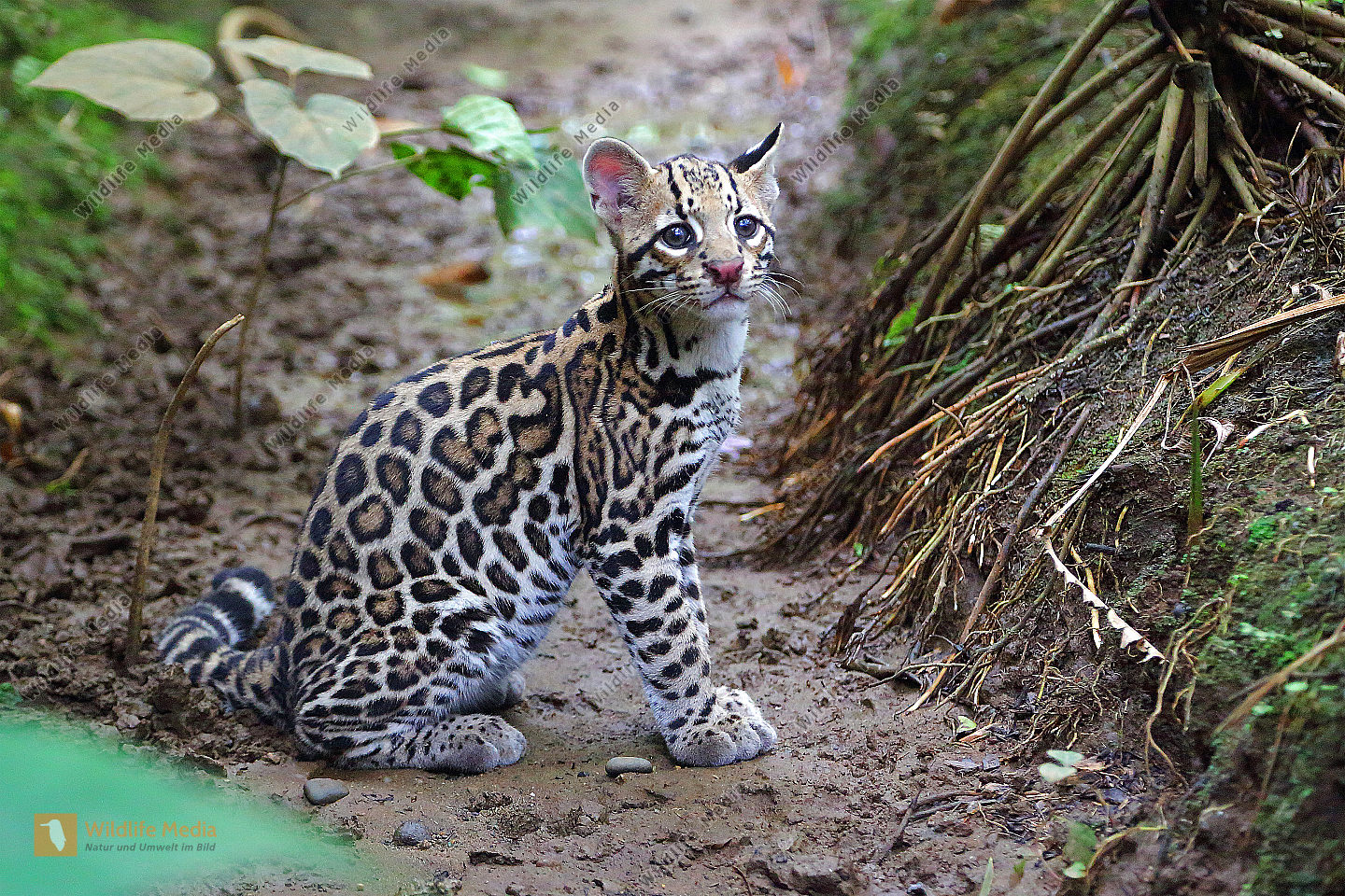 Ozelot synonyms Ozelot pronunciation Ozelot translation English dictionary definition of Ozelot n A nocturnal wildcat of brush and woodland from southwest North America to central South America having a grayish or yellow coat with black spots Ozelot  definition of Ozelot by The Free Dictionary