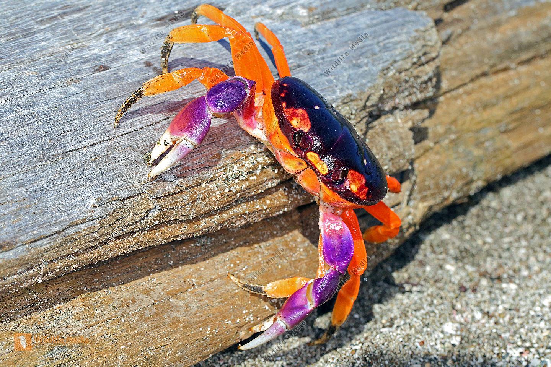 Halloween-Krabbe