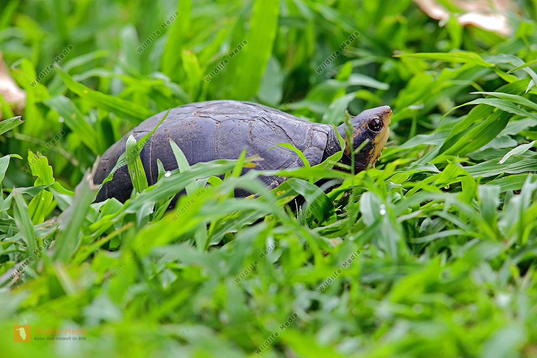 Weißmaulklappschildkröte