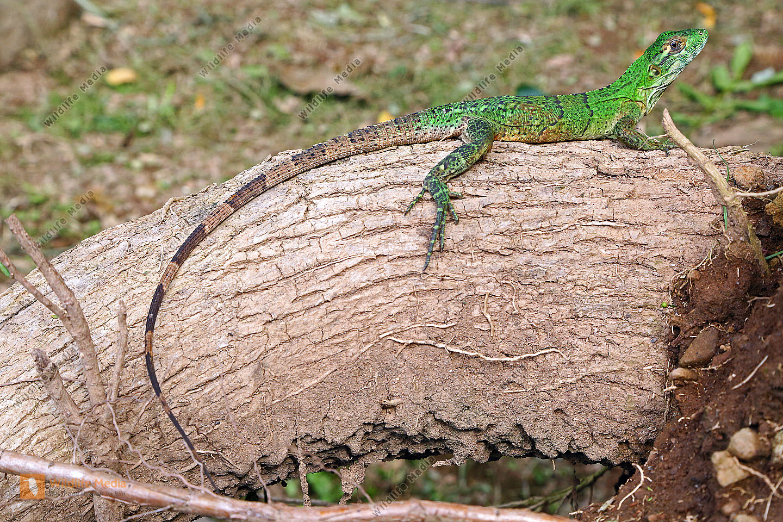 Grüner Leguan Jungtier