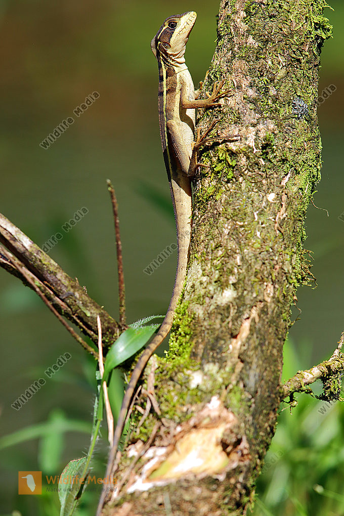 Streifenbasilisk Weibchen