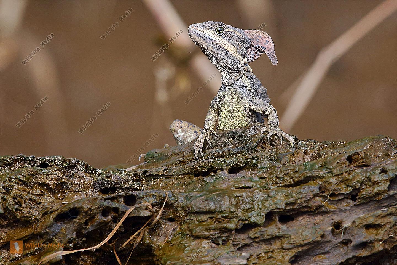 Streifenbasilisk Männchen