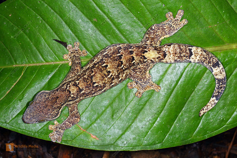 Gecko Costa Rica