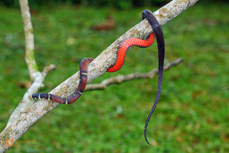 Milch-Schlange Costa Rica