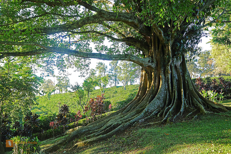 FicusaureaHigueronFigs