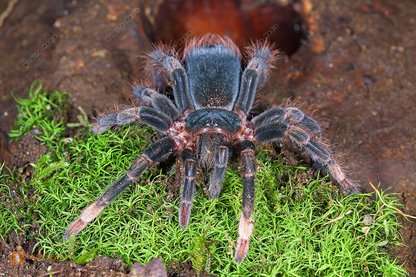 Rotbeinvogelspinne