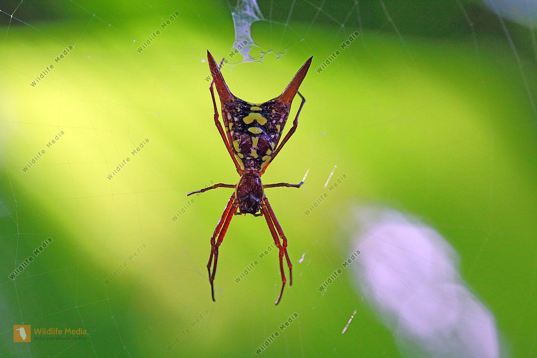 Radnetzspinne Costa Rica sexspinosa