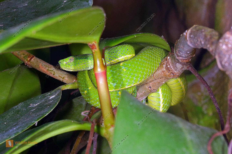 Grüngelbe Palmlanzenotter