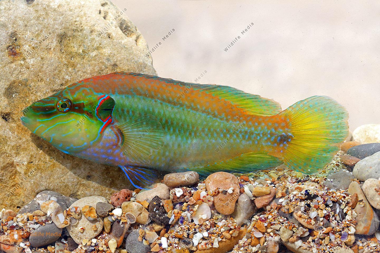 Augenfleck-Lippfisch