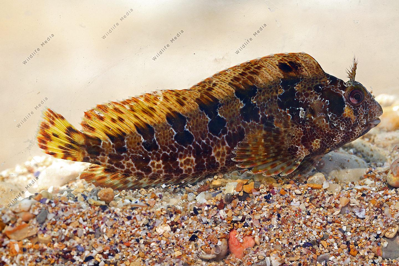 Gestreifter Schleimfisch