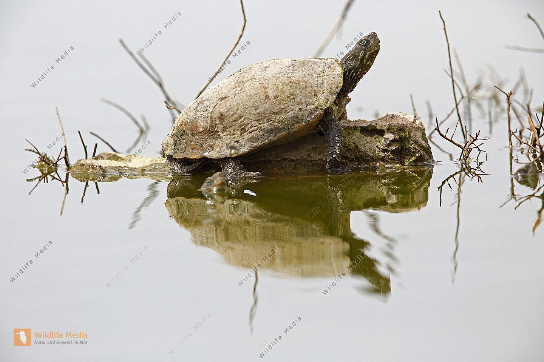 Maurische Bachschildkröte