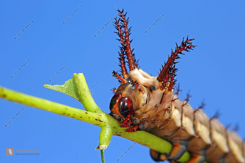 Citheronia regalis halberwachsene Raupe