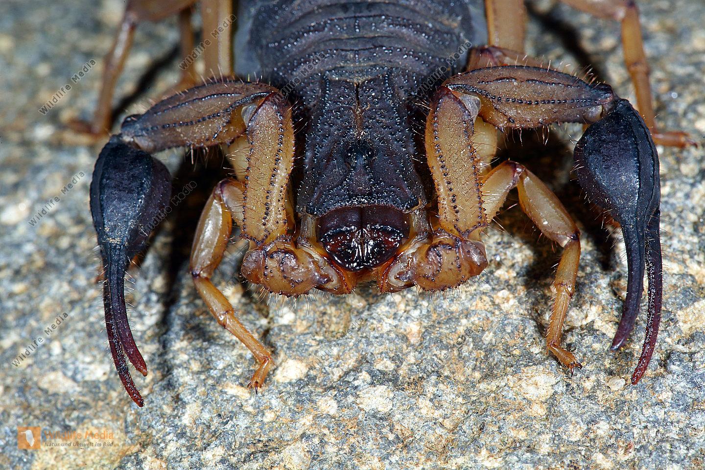 Skorpion bicolor