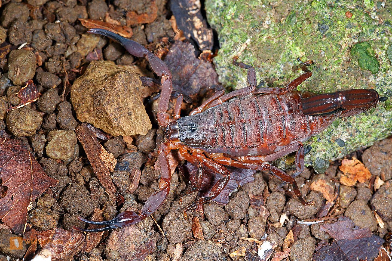 Skorpion gracilis