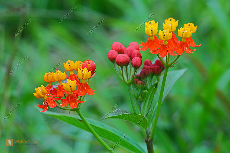 Scarlet Seidenpflanze