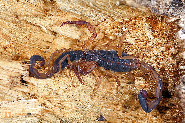 Skorpion limbatus