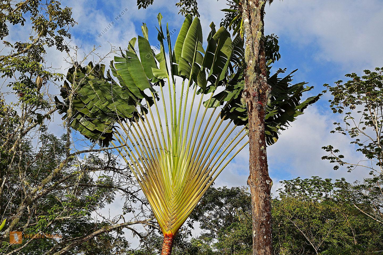 Baum der Reisenden