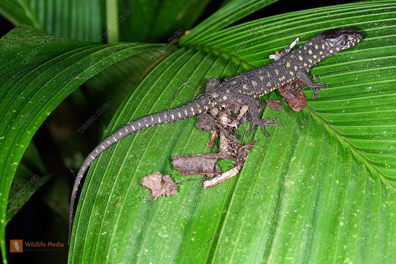 Krokodil-Nachtechse