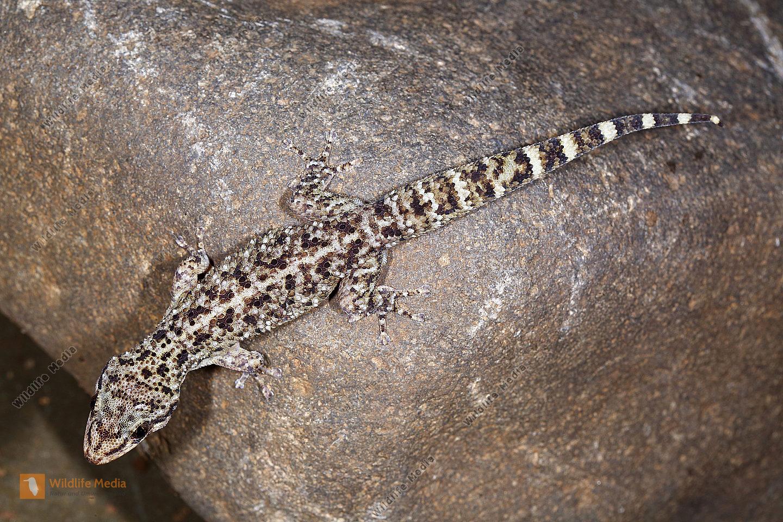 Rübenschwanzgecko