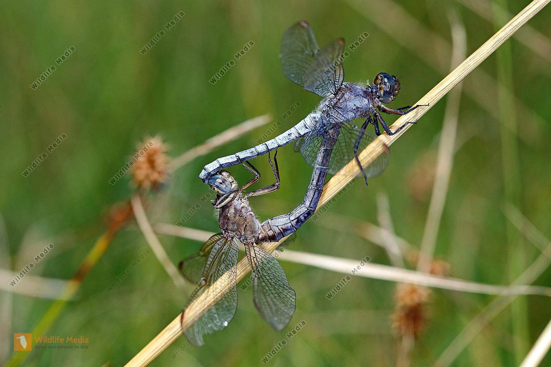 Kleiner Blaupfeil Paarungsrad
