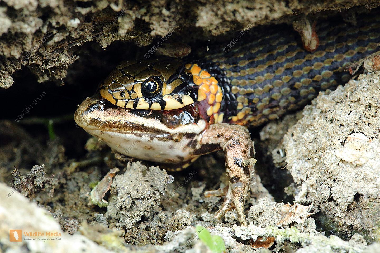 Ringelnatter verschlingt Frosch