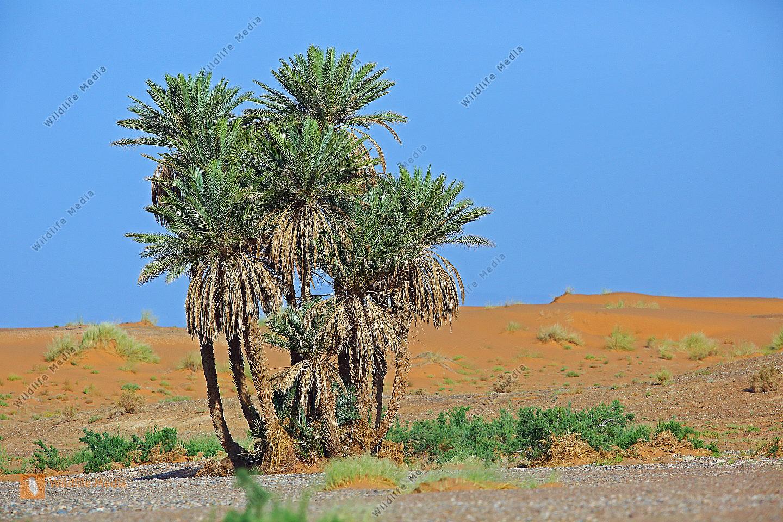 Dattelpalmen Marokko