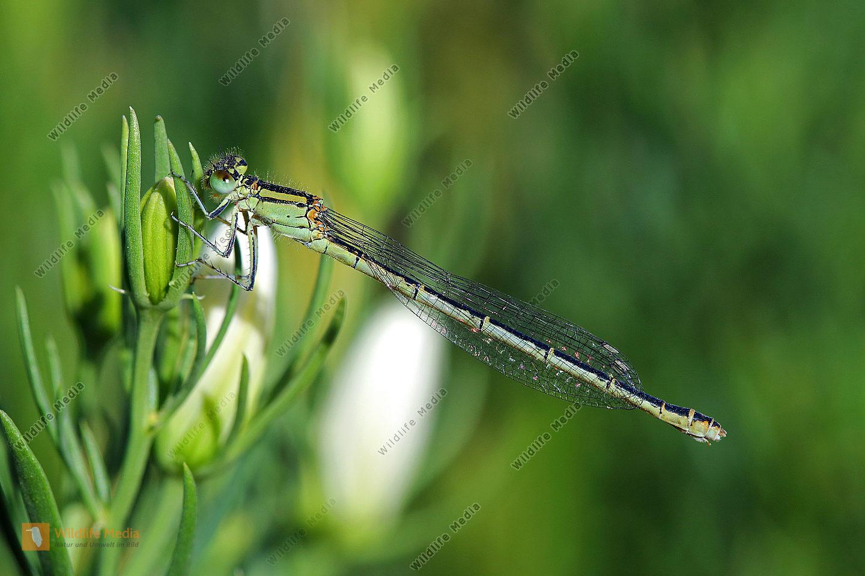Wüsten-Becherjungfer Weibchen