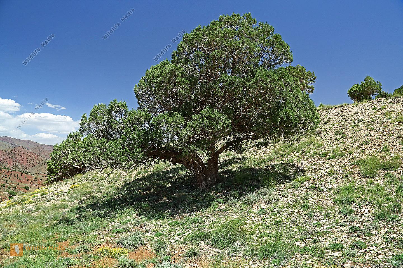 bestellen ph nizischer wacholder juniperus phoenicea. Black Bedroom Furniture Sets. Home Design Ideas