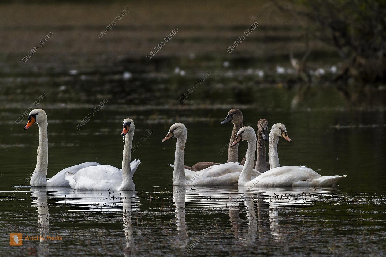 Höckerschwan-Familie treibt auf einem Weiher