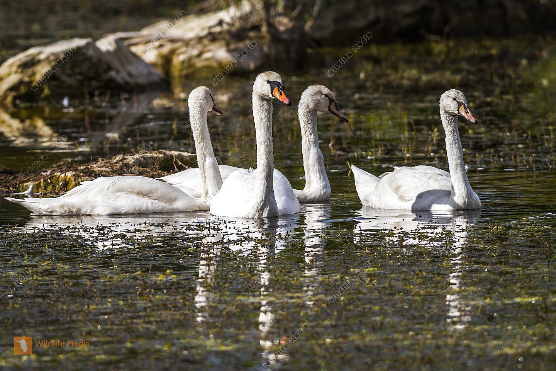 Jungschwäne auf dem Teich