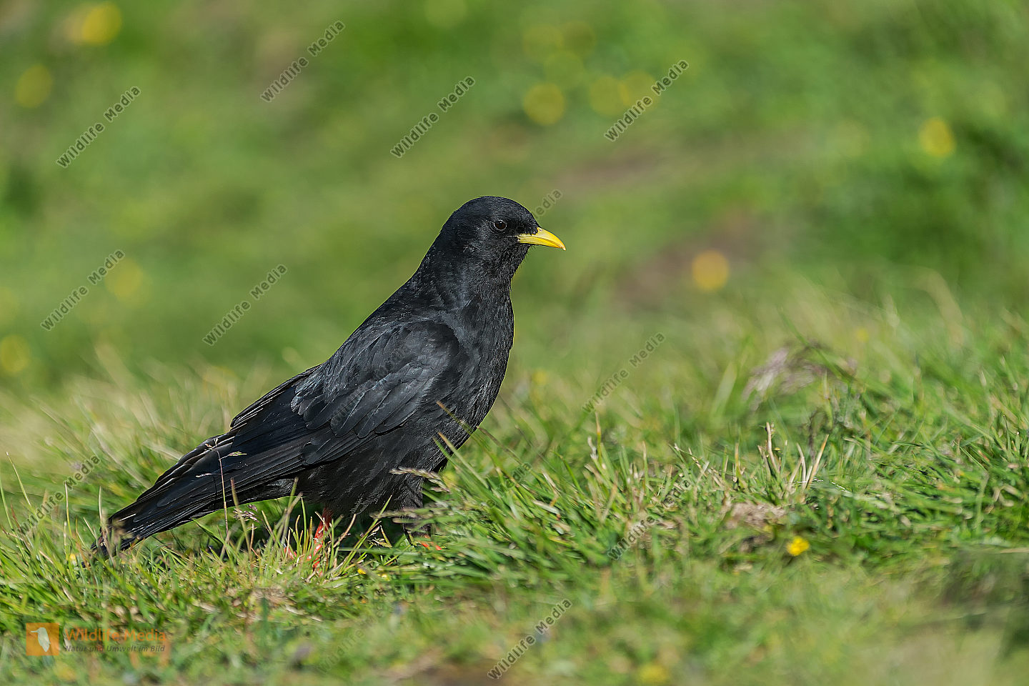Alpendohle Pyrrhocorax graculus Alpine Chough