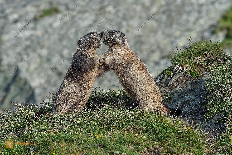 Murmeltier Marmota marmota Marmot