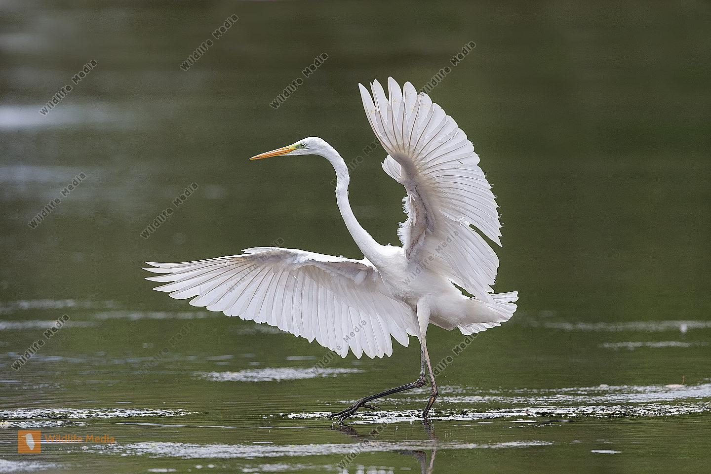 Silberreiher Casmerodius albus Great Egret