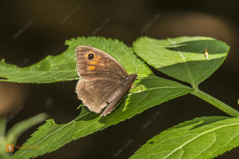 Großes Ochsenauge mit geöffneten Flügeln auf einem Blatt.