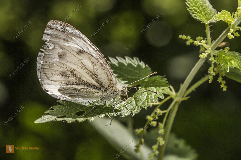 Grünader-Weißling auf einem Blatt