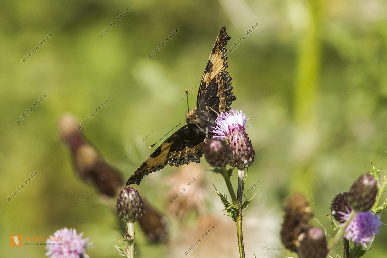 Kleiner Fuchs saugt an einer Blüte. Blick auf die Unterflügel.