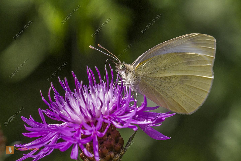 Kleiner Kohlweißling saugt an einer Flockenblume