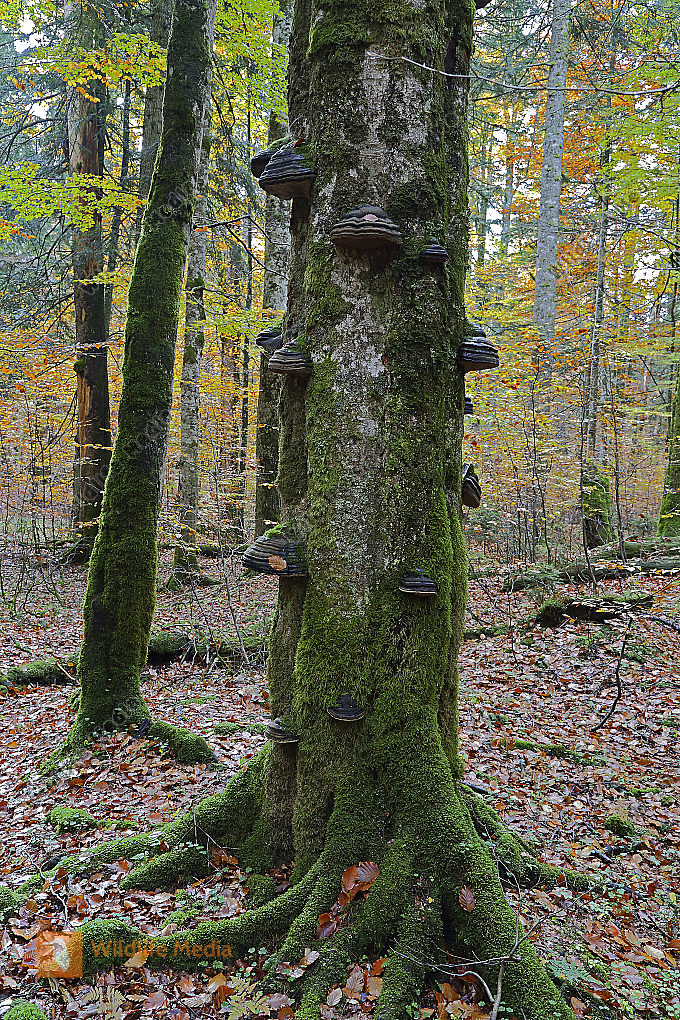 Europäischer Primärurwald