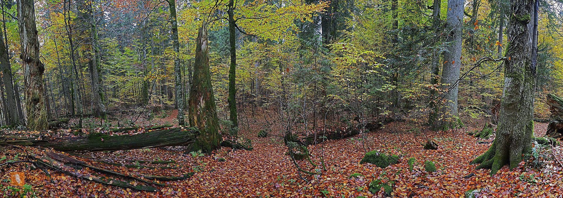 Europäischer Primärurwald Panorama