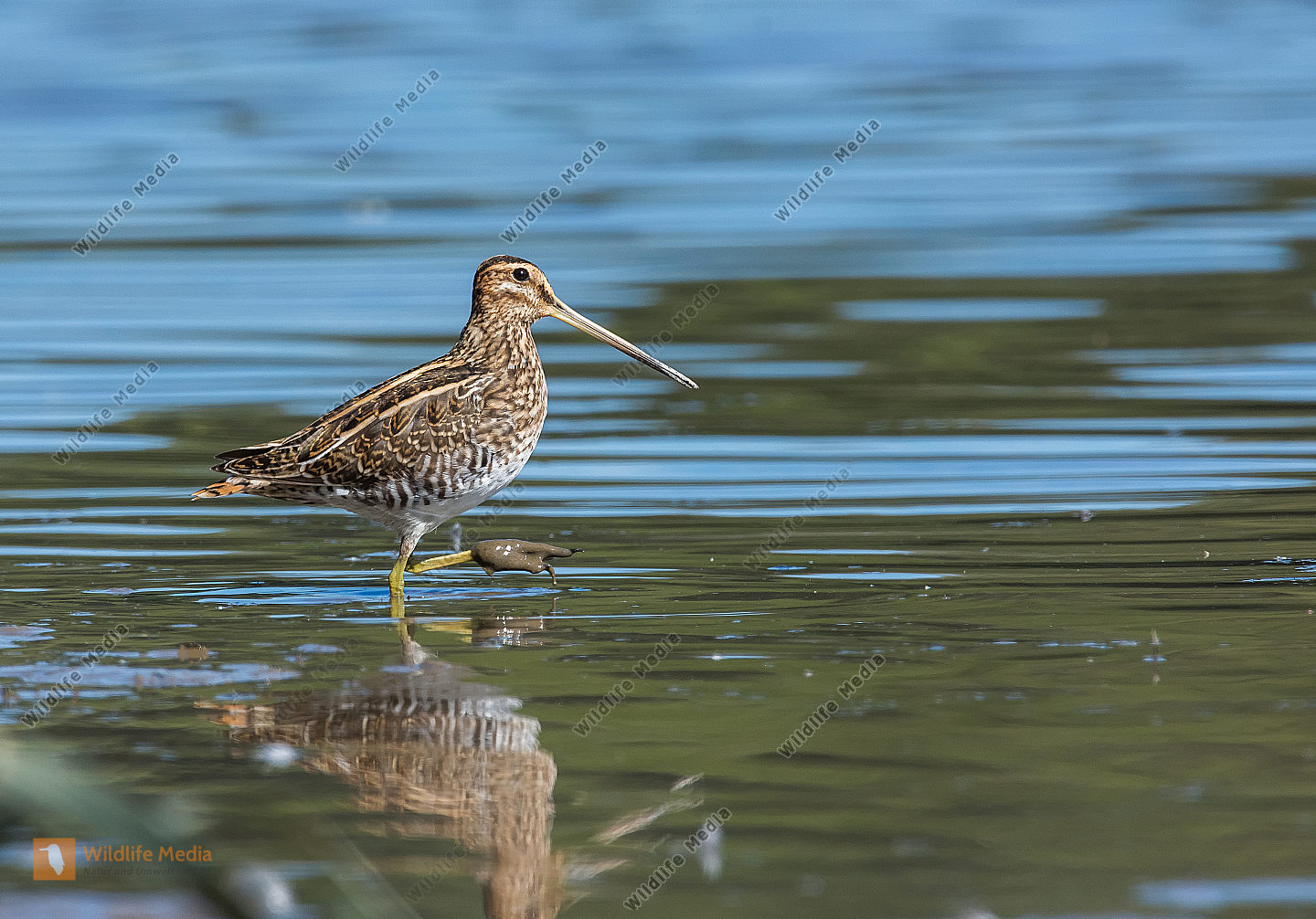Bekassine Gallinago gallinago Common Snipe