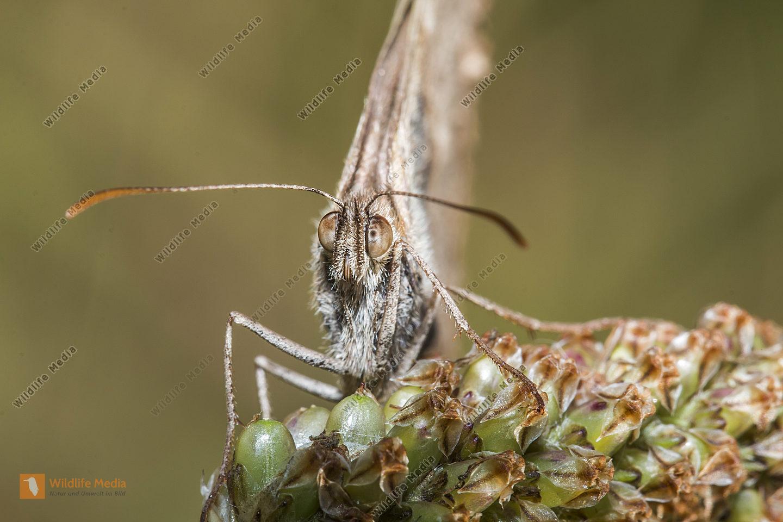 Kleines Wiesenvögelchen sitzt auf einem Grashalm