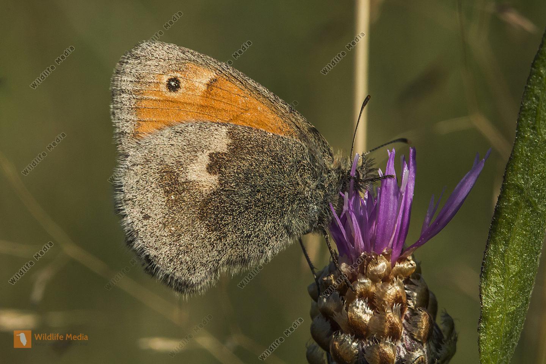 Kleines Wiesenvögelchen sitzt auf einer Blüte