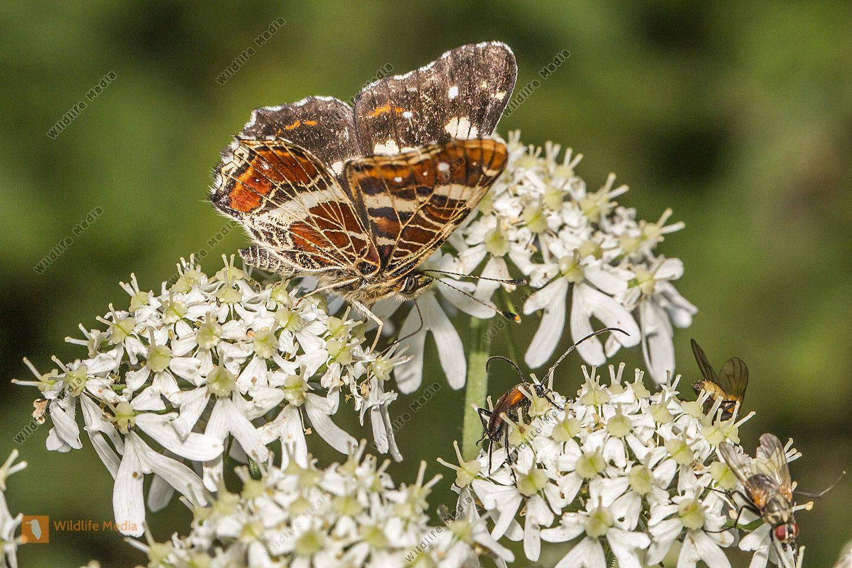 Landkärtchen sitzt auf einer Blüte